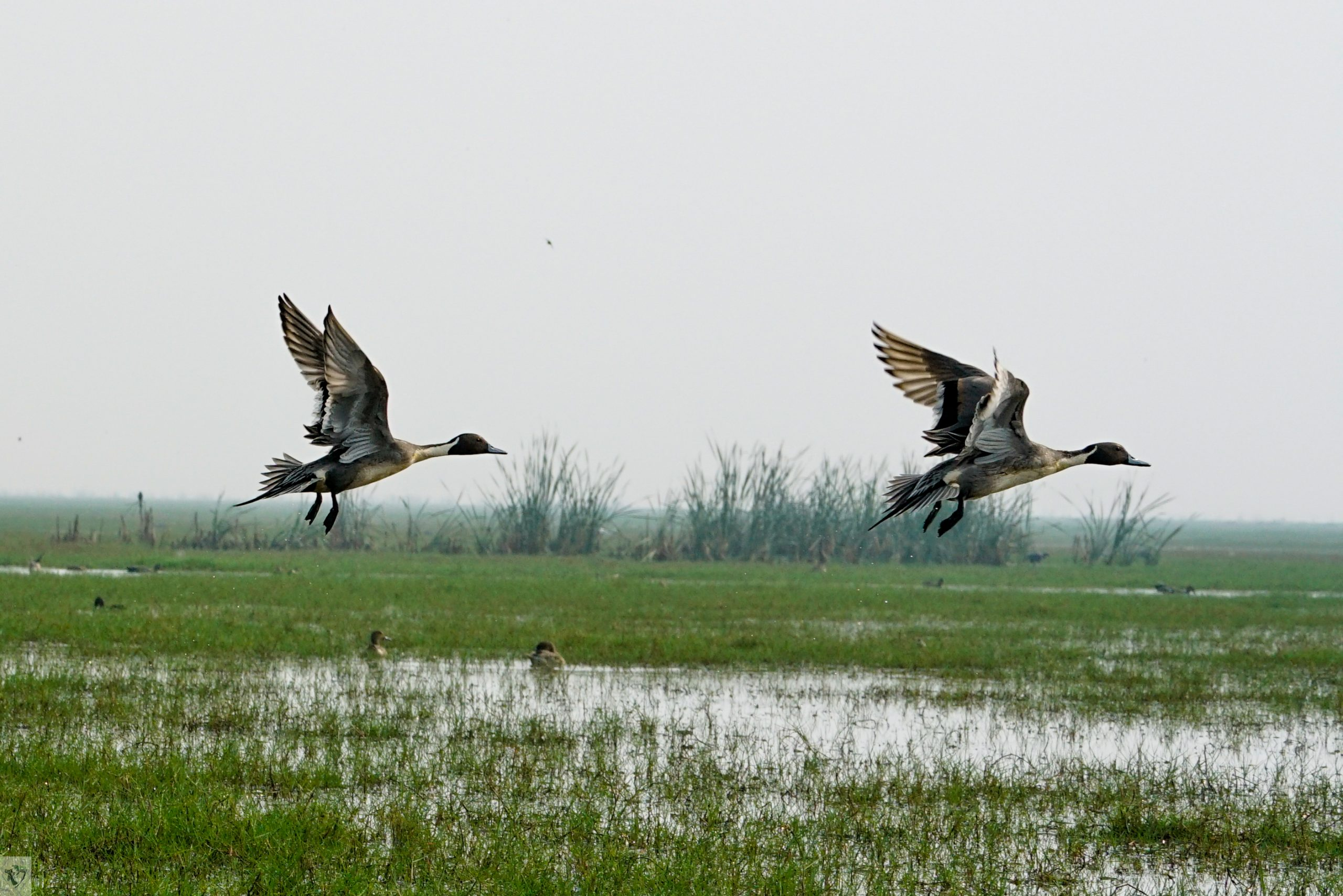 Birds at Chilika Lake