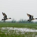 Birds at Chilika Lake